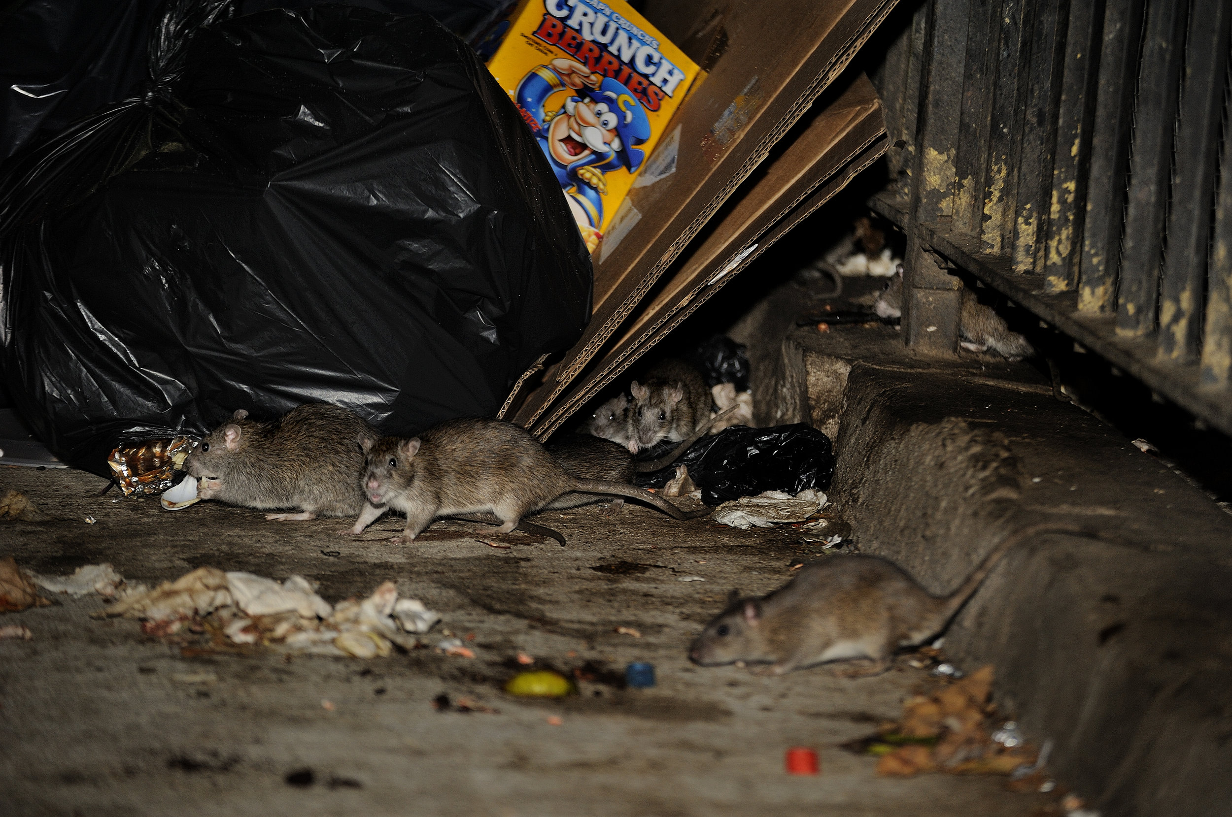 The War on Rats in Claremont Village