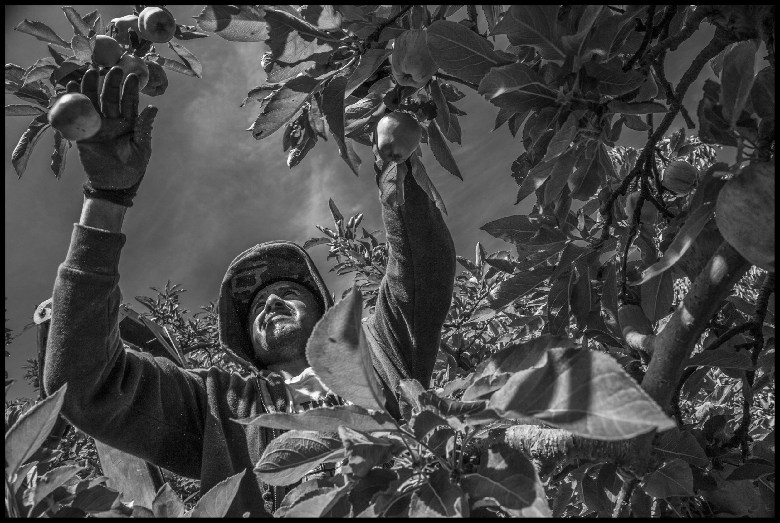 The Apple Pickers of the Yakima Valley