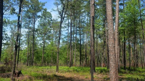 How the Alabama-Coushatta Use Fire to Save the Longleaf Pine